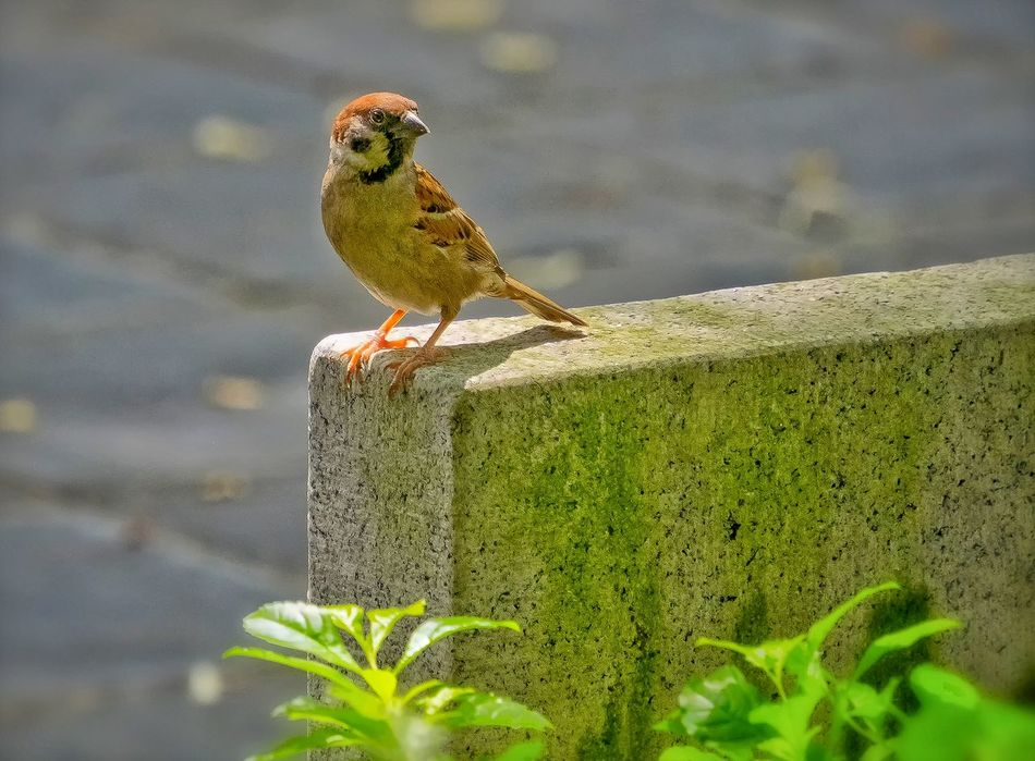 Selective Focusing EyeEm Best Shots - Nature Focus On Foreground,shallow Focus Original Experiences My Unique Style Birds Of EyeEm  Birds_collection Bird Photography Green Leaves Sparrow Getting Inspired Cute Animals Cute Bird🐥