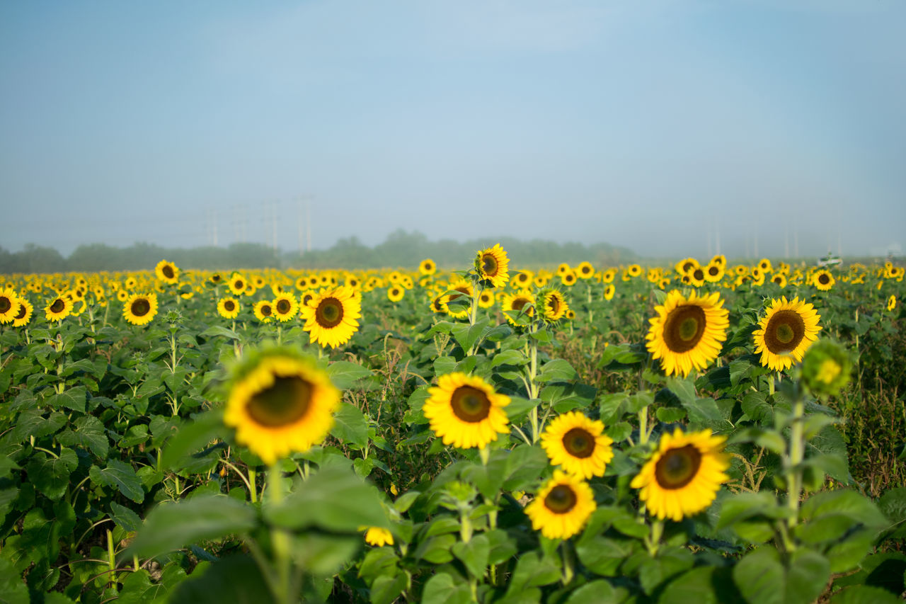 Agriculture Calm Field Flower Collection Flowers Fog Foggy Fresh Air Morning Morning Light Nature Nature Photography Nature_collection Outdoors Peaceful Sunflower Wonderful Yellow