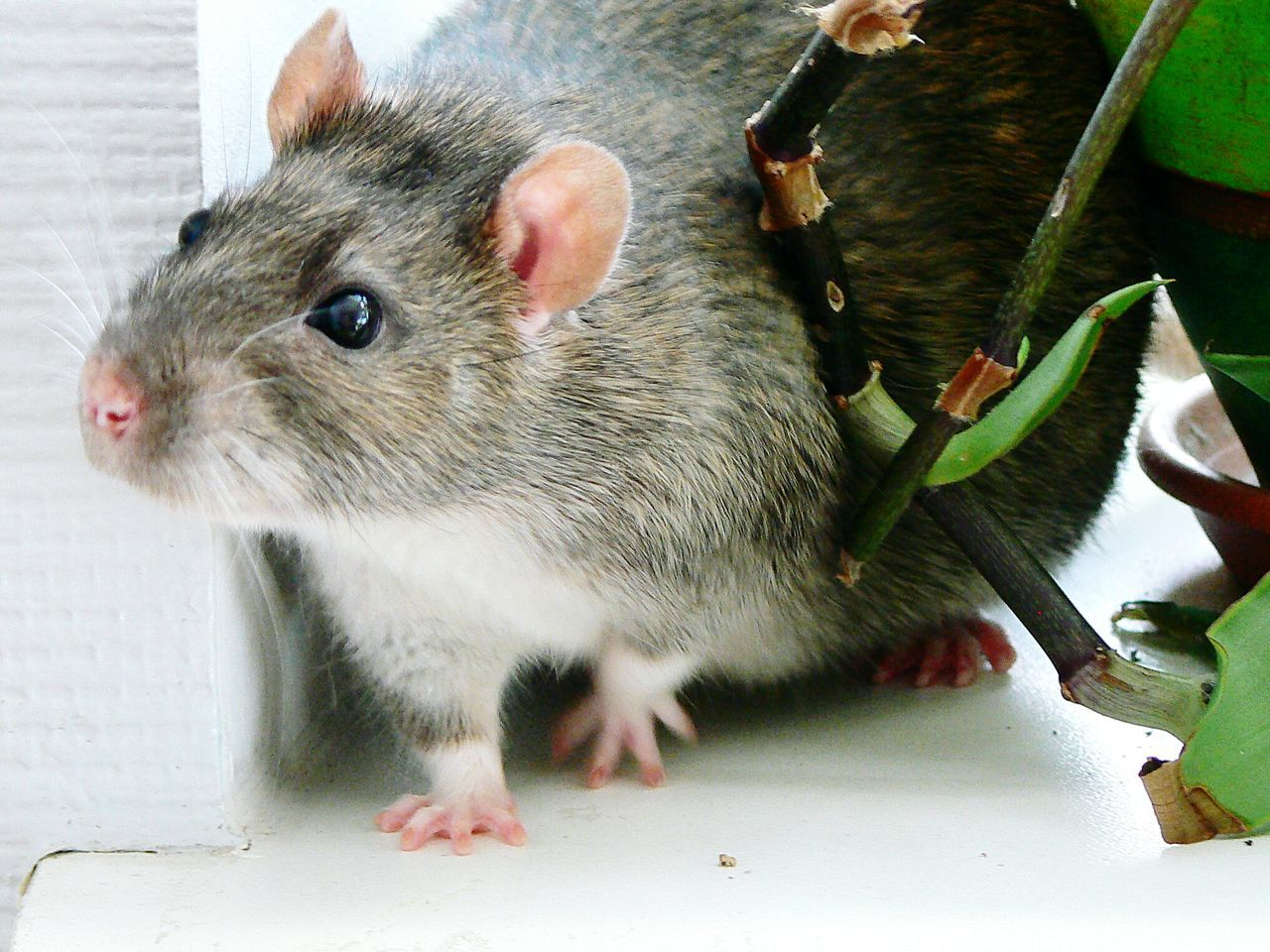 Beautiful stock photos of rat, Animal Themes, Close-Up, Domestic Animals, Indoors