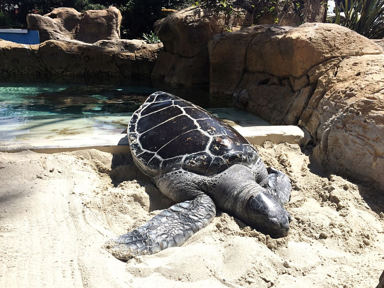 At SeaWorld in San Diego, CA Animal Themes One Animal Animal Wildlife Rock - Object Tortoise Tortoise Shell Nature Outdoors No People Water Day Sea Turtle Close-up Turtle AT THE ZOO Adapted To The City