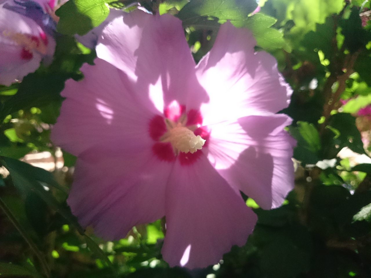 flower, petal, fragility, flower head, beauty in nature, freshness, nature, growth, no people, day, plant, close-up, blooming, outdoors, hibiscus, petunia