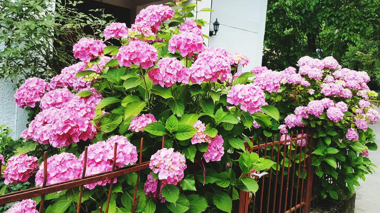 Ortanca Betiful Flowers,Plants & Garden