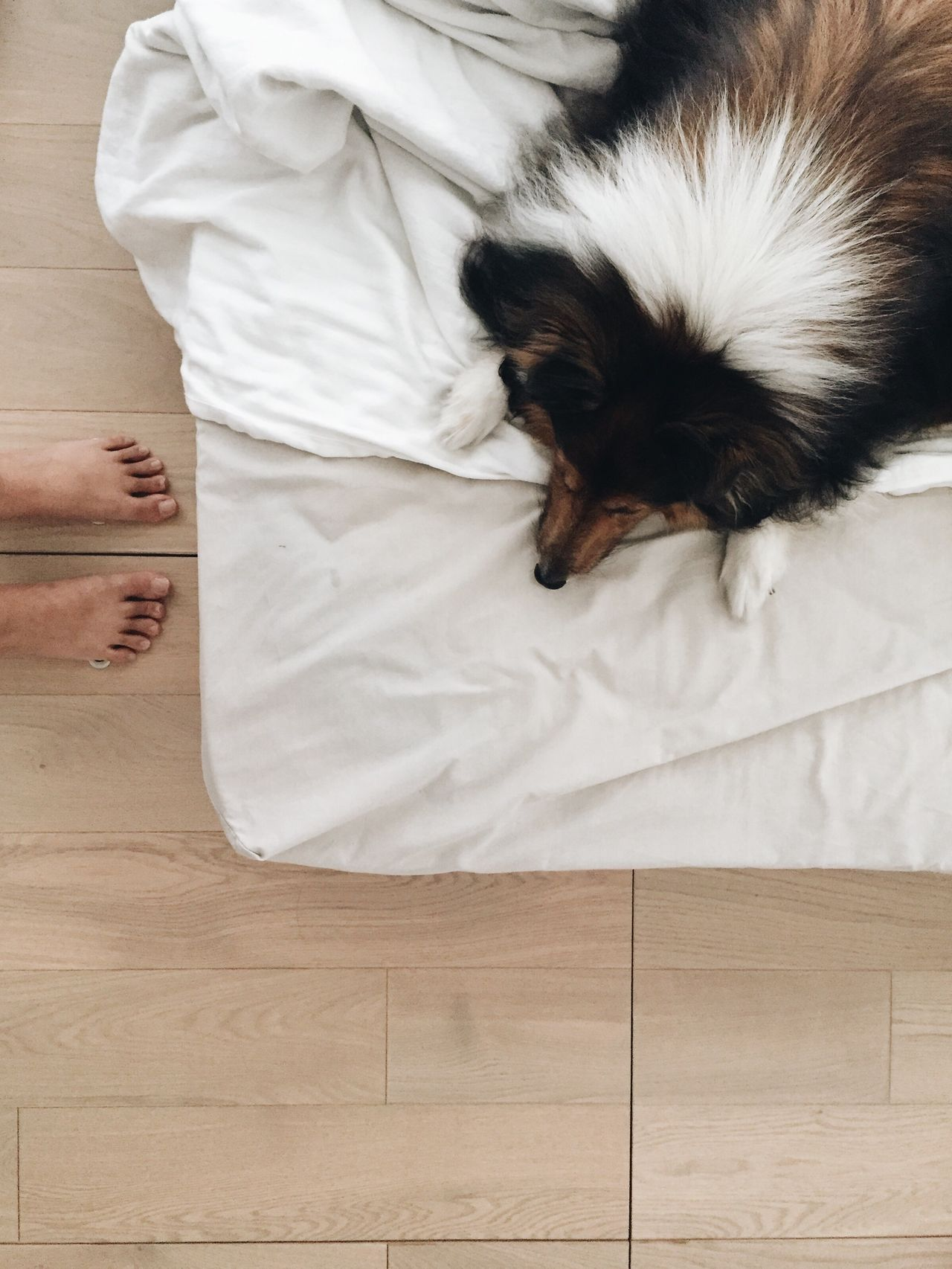 Pets Dog One Animal Domestic Animals Indoors  Mammal Real People Bed Animal Themes Sleeping Lying Down Sheepdog Sheltie One Person Puppy Lifestyles Relaxation Human Body Part Pillow Bedroom Human Hand