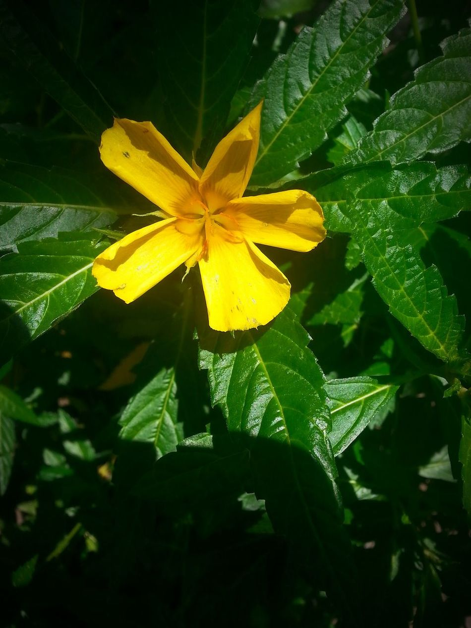 Yellowflower Flower Yellow Green Leaves Stunning Collection Checking Out Artifacts Exhibition Learning Check This Out Nature Photography Nature_collection Follow4follow Likeforlike #likemyphoto #qlikemyphotos #like4like #likemypic #likeback #ilikeback #10likes #50likes #100likes #20likes #likere Beautiful Vnmaphotography