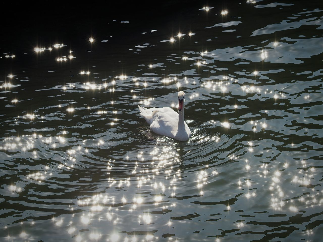 Water Nature Swan Sparkling Water Ripples In The Water Rippled Water Rippled Ripples River Beauty