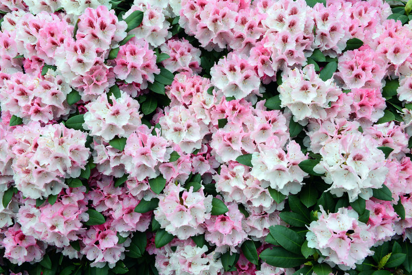 pink Rhododendron bush bloom in springtime. park. Day Flower Flower Head Freshness Nature No People Outdoors Petal Pink Pink Color Pink Flower Rhododendron Rhododendron Blossoms Rhododendronblossoms Rhododendroninbloom Rhododendrons