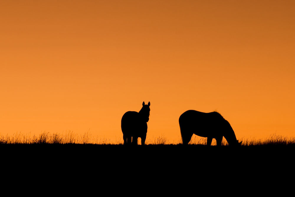 Horses at sunset Silhouette Animal Scenics Togetherness Mammal Outdoors Sky Beauty In Nature No People Sunset Orange Orange Sky Sunset Silhouettes Silhouettes Horses Horselove Horse Silhouette Two Horses Night