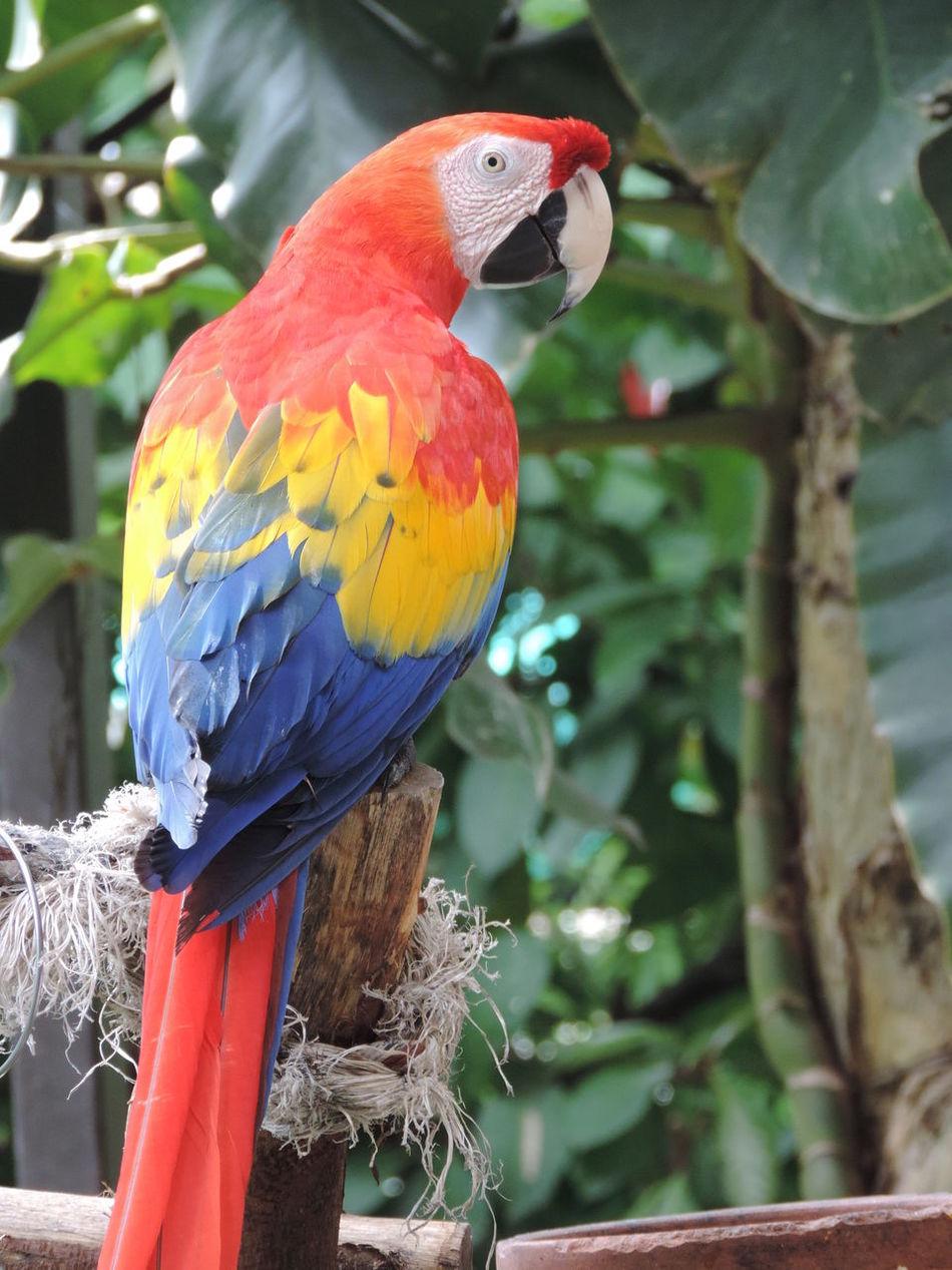 Animal Ara Macao Bird Blue Day Nature Outdoors Scart Macaw