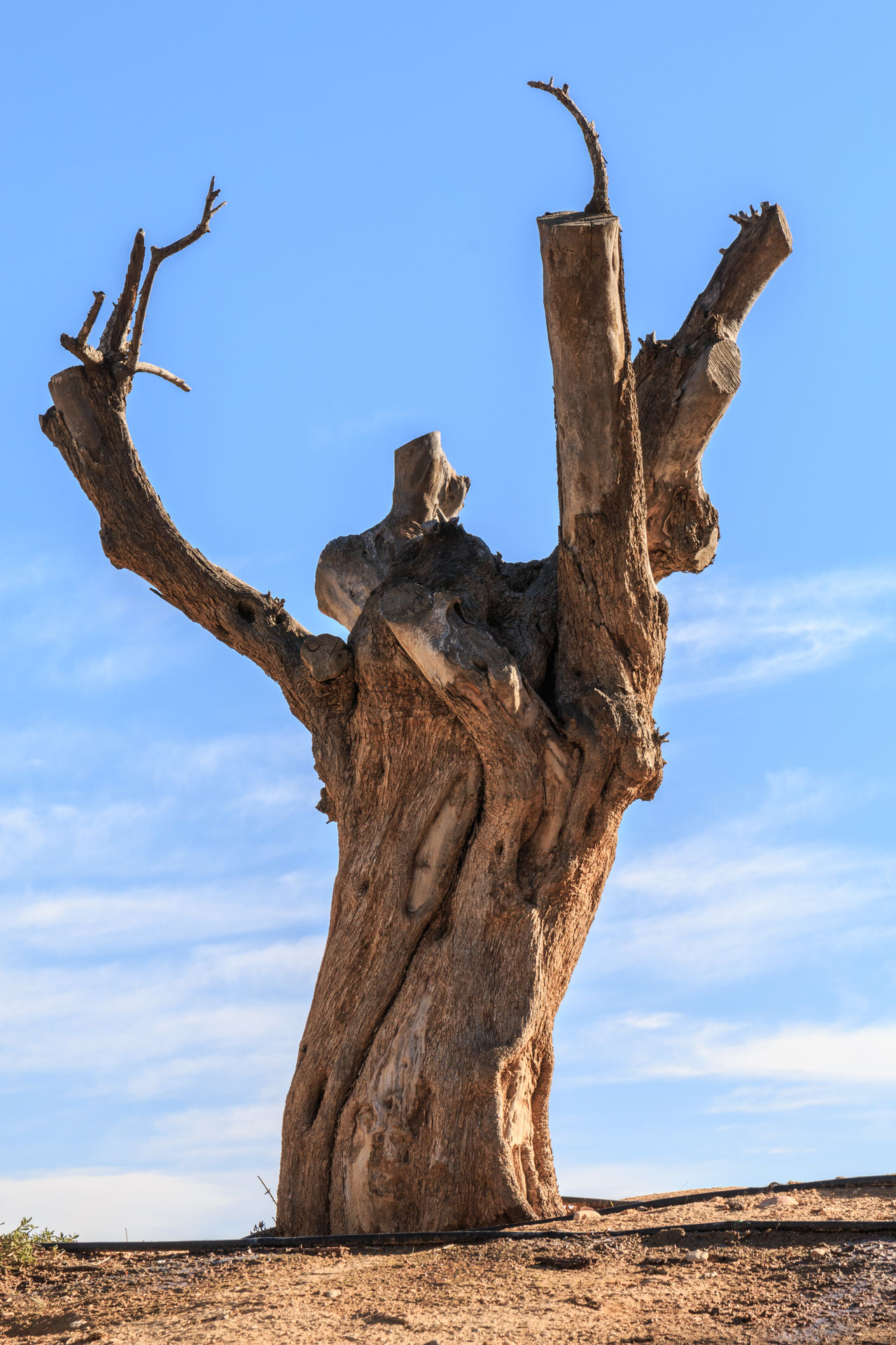 Arid Climate Isreal  Lone Tree Sde Boker Textured  Tree Tree Against The Blue Sky Tree Trunk Winter Tree Israel