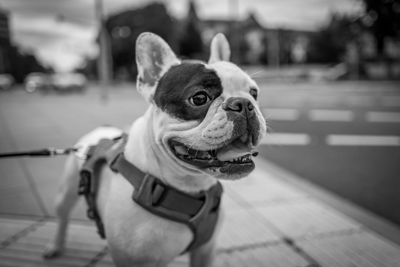 Spock - a cute french Bulldog I met in Frankfurt Animal Themes Bulldog Close-up Day Dog Domestic Animals Focus On Foreground Frenchie Mammal No People One Animal Outdoors Pets Portrait