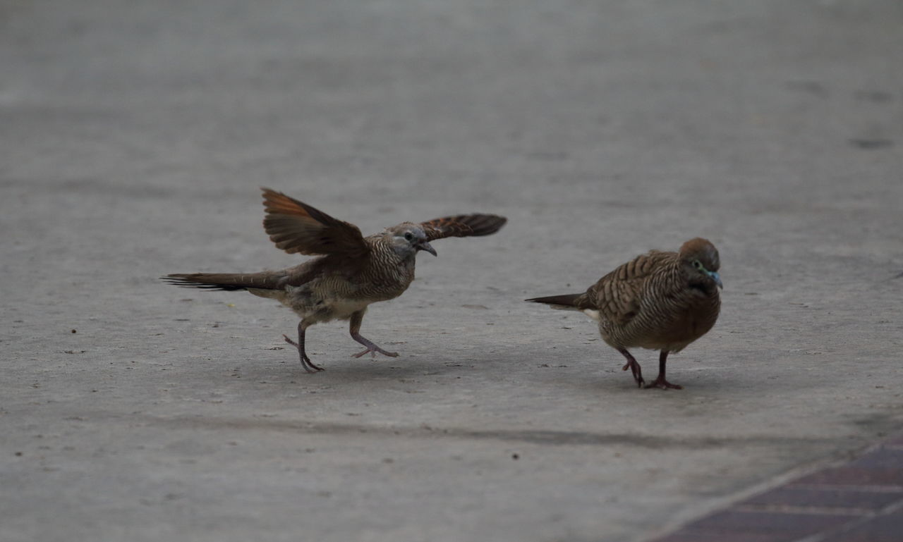 Love story 1 of 4: Will you be my girlfriend?🐦🐦 Bird Spread Wings Nature Pigeons Pigeons In Love Courtship Bird Couple Animal Wildlife On The Move Animal Themes Birds Big Island in Hawaii United States