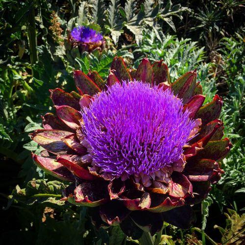 Artichoke Community Garden San Francisco