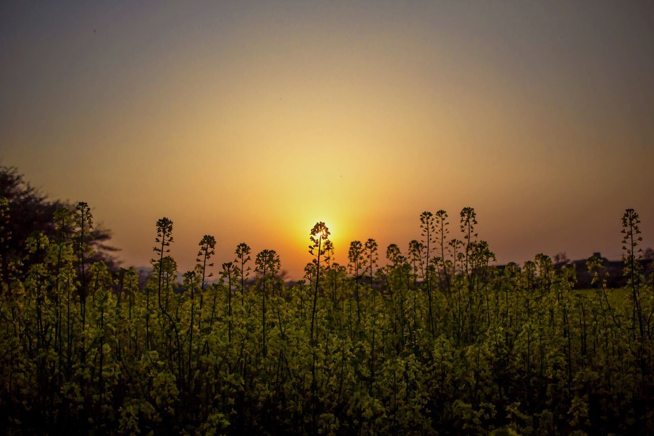 Sunset Nature Growth Beauty In Nature Field Scenics Tranquil Scene Landscape Agriculture Tranquility Plant Sun Outdoors Rural Scene Tree No People Sky Clear Sky Flower 菜の花 RapeFlowers