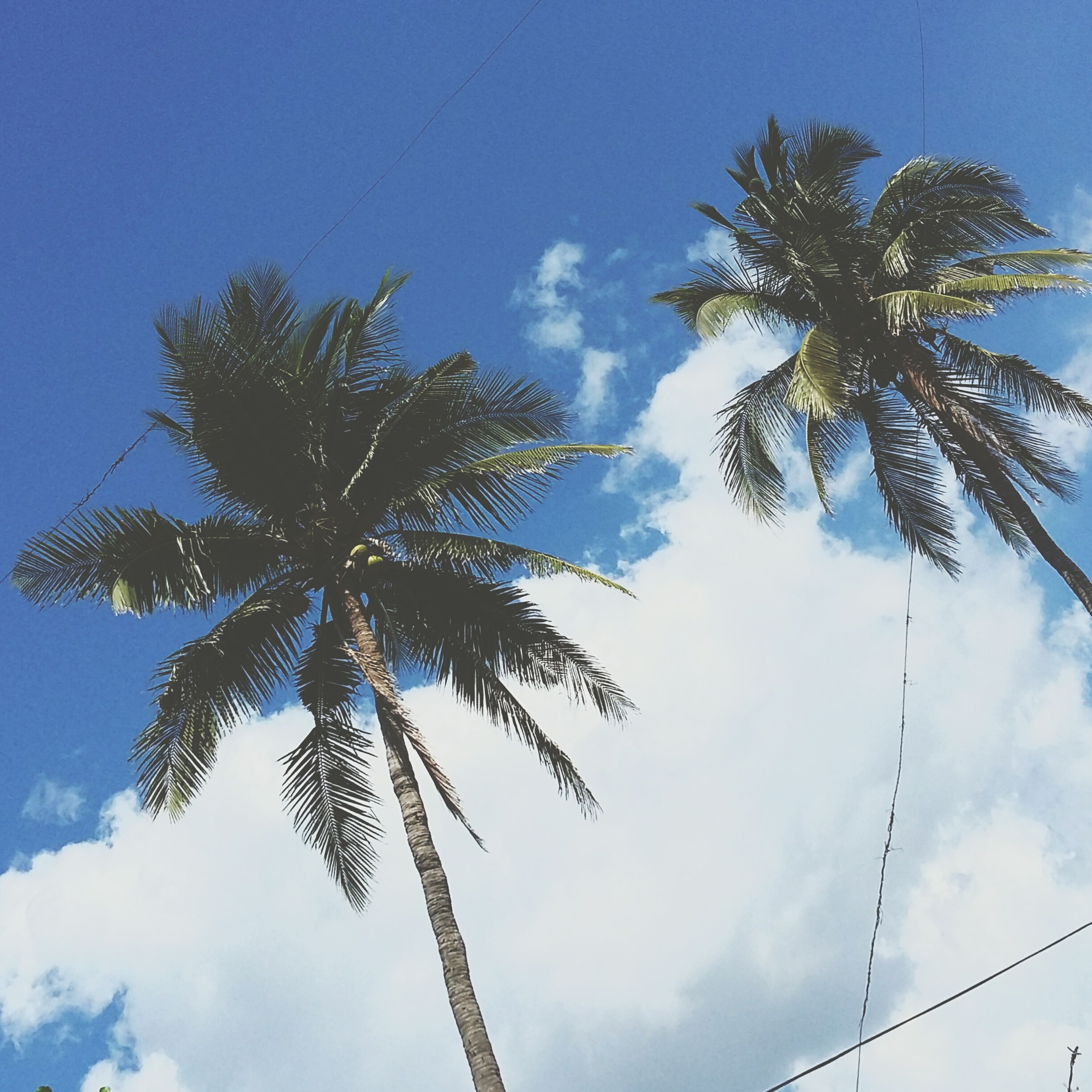 low angle view, tree, sky, palm tree, blue, growth, nature, tranquility, tall - high, beauty in nature, cloud - sky, cloud, tree trunk, day, silhouette, outdoors, no people, scenics, branch, sunlight
