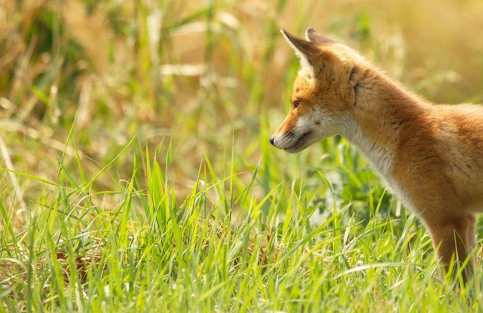 Beautiful stock photos of fox, Animal Head, Animal Themes, Animal Wildlife, Animals In The Wild