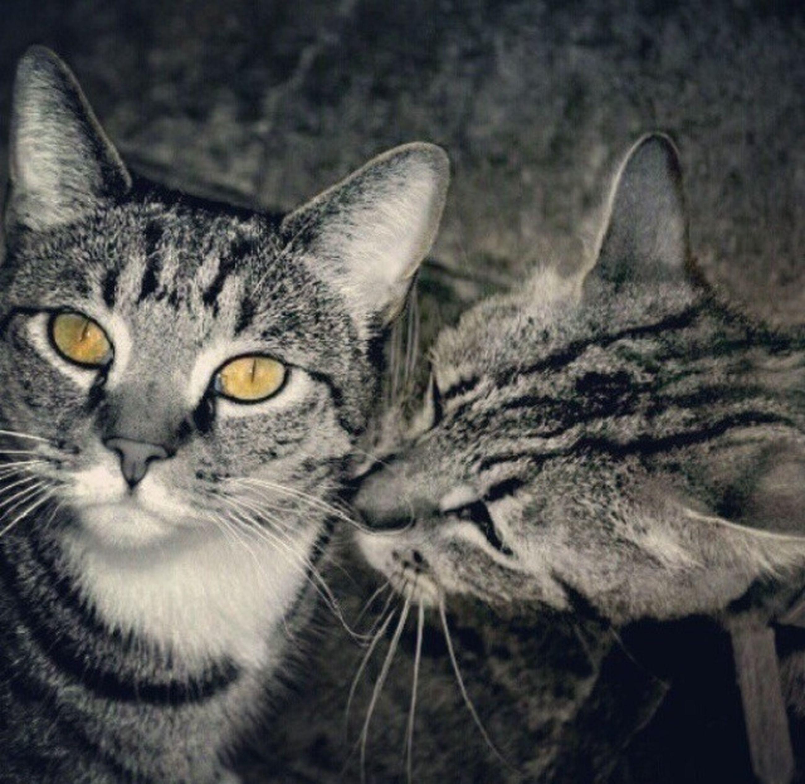 Kiss Animal Animal Love Black & White Black And White