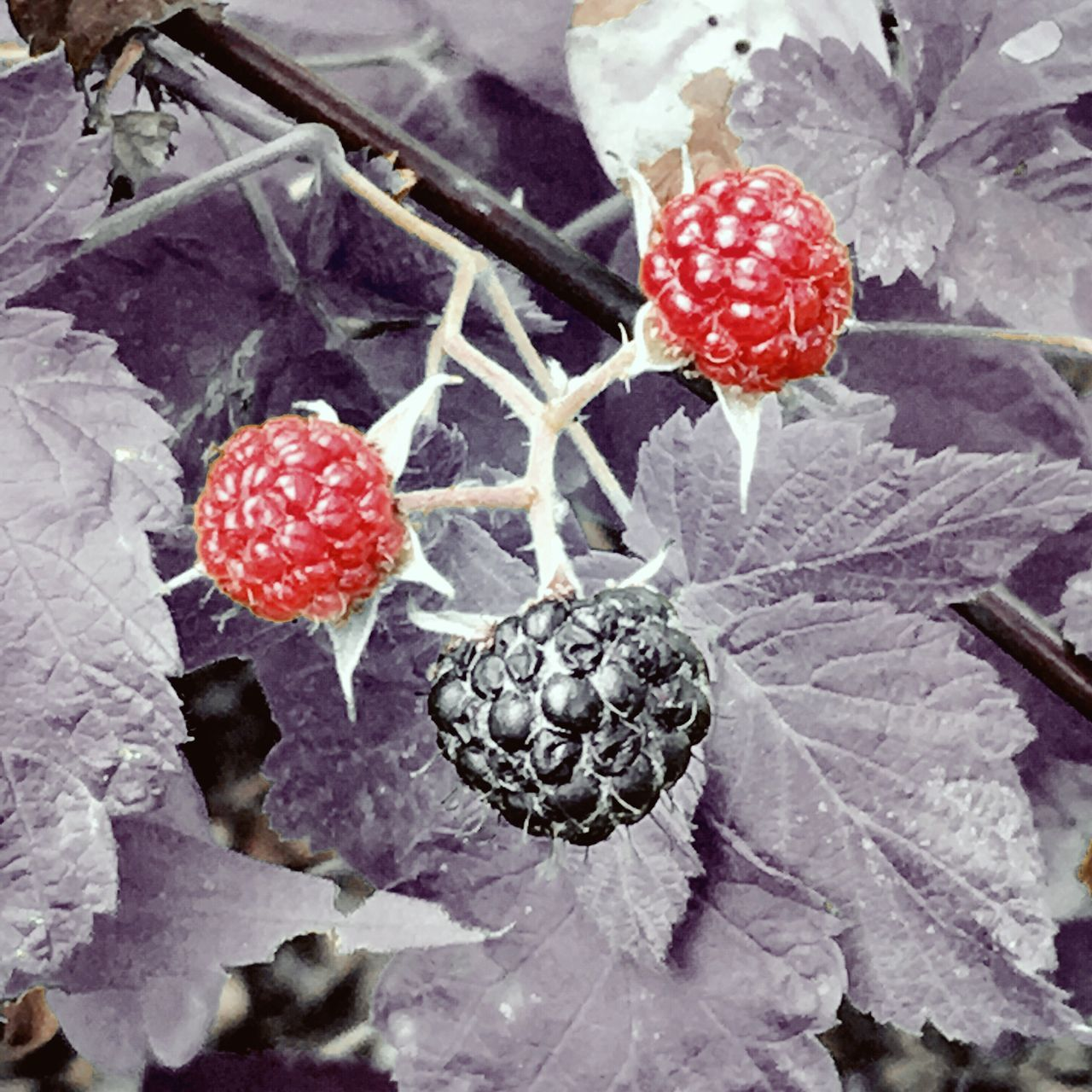 Fruit Growth Freshness Red Close-up Nature Beauty In Nature No People Food And Drink Frozen Day Outdoors Plant Food