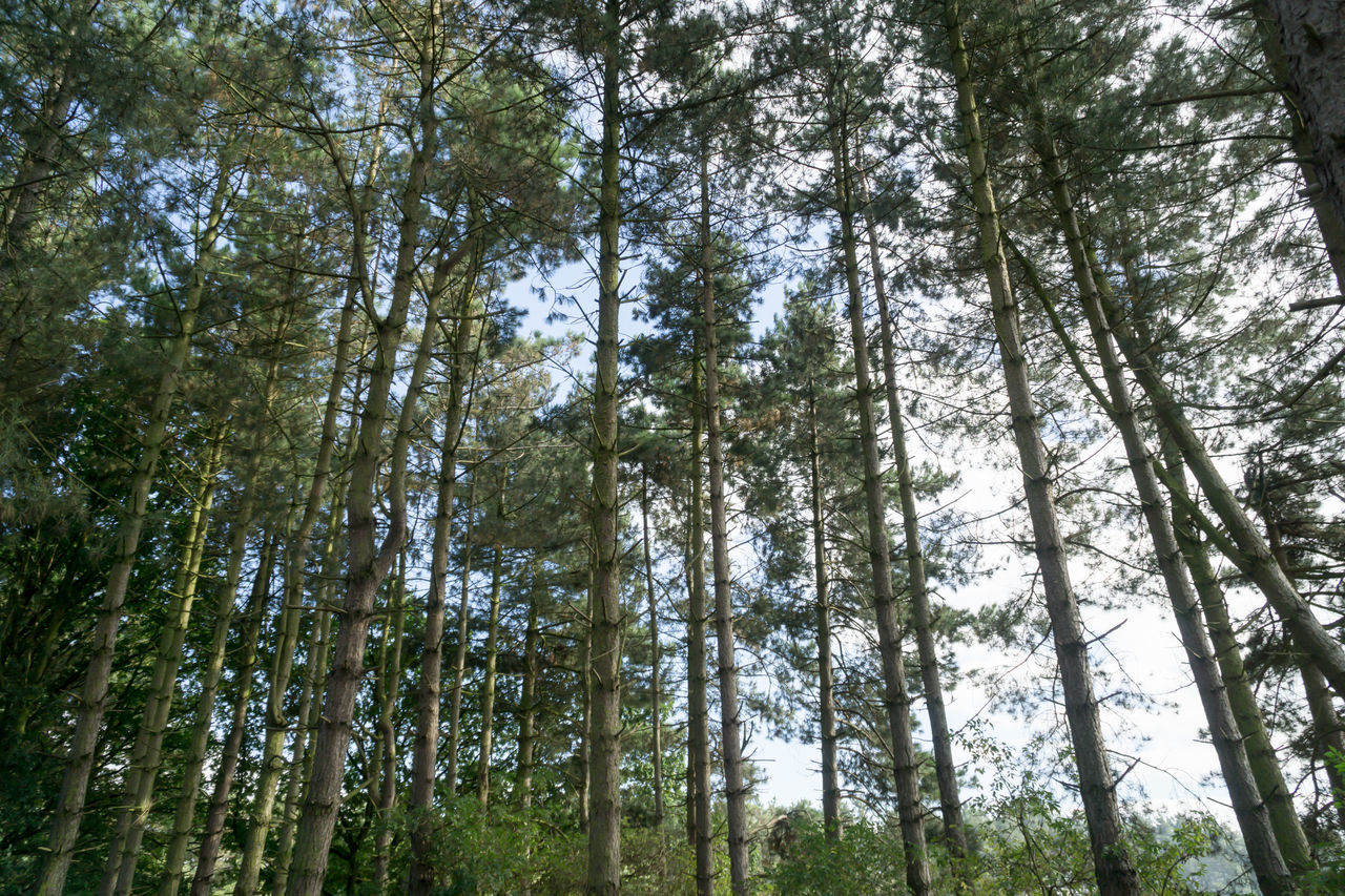 forest, tree, nature, woodland, low angle view, day, scenics, outdoors, tree trunk, pine tree, no people, plant, tranquility, growth, beauty in nature, sky
