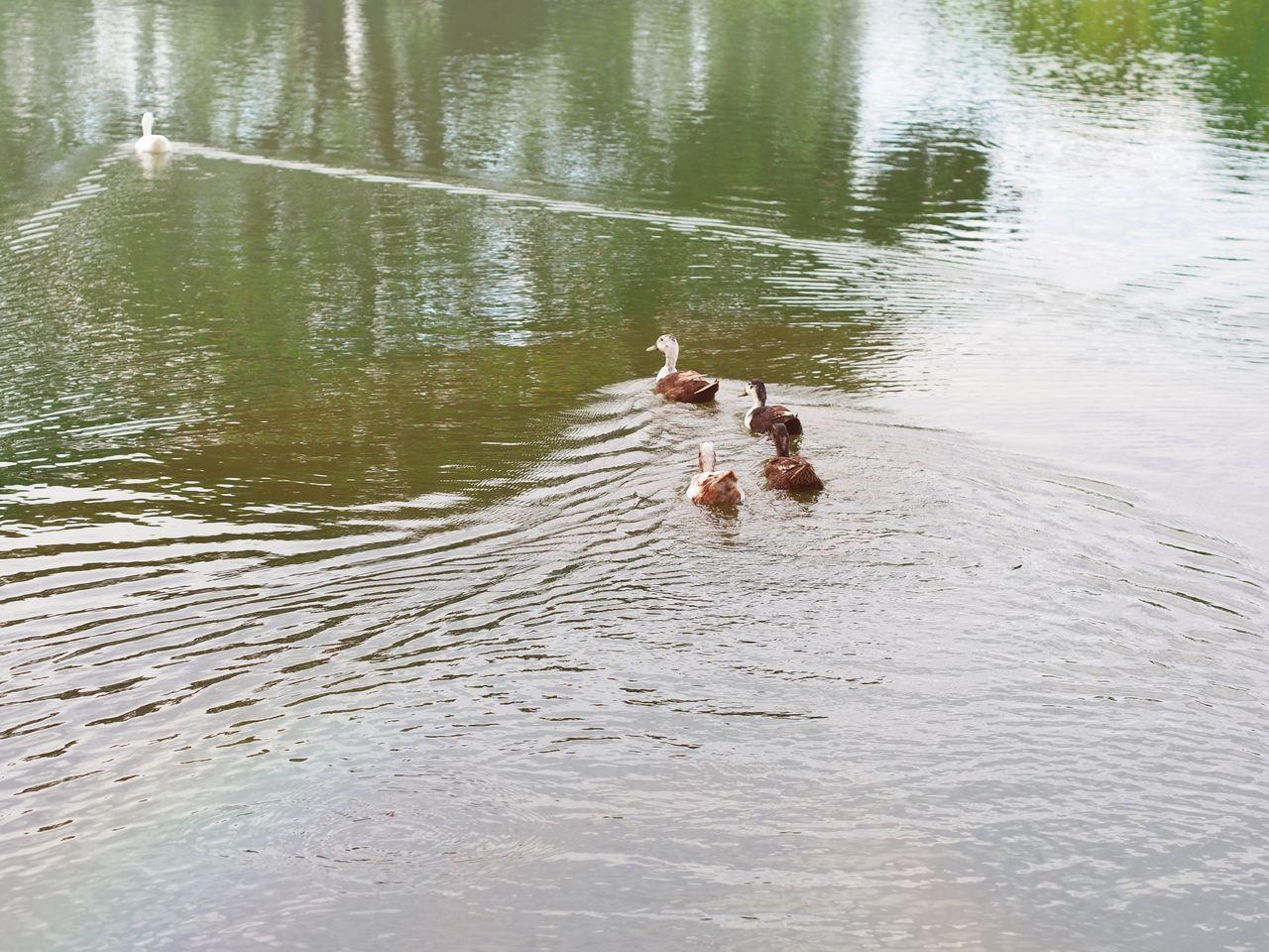 Ducks😄 Animal Themes Water Pets Lake Animal Swimming Animals In The Wild Nature No People Domestic Animals Bird Day Mammal Animal Wildlife Outdoors Hippopotamus Beauty In Nature Swan