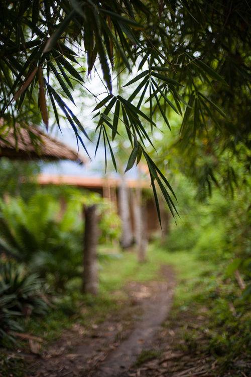 Bambu plant Bambu Bambu Plant Cane Day Green Growth Hut Indonesian Leafs Nature No People Outdoors Path Plant Rainforest