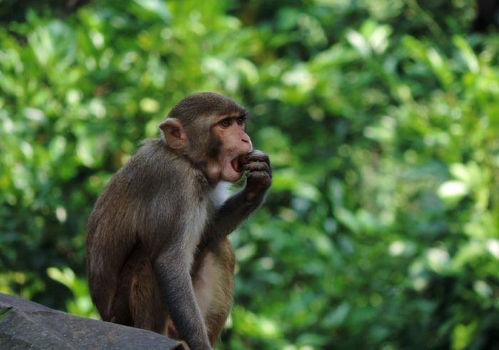 Check this out Monkey Nature_collection Wildlife Photography Rhesus Macaque Enjoy Eating Taking Photos