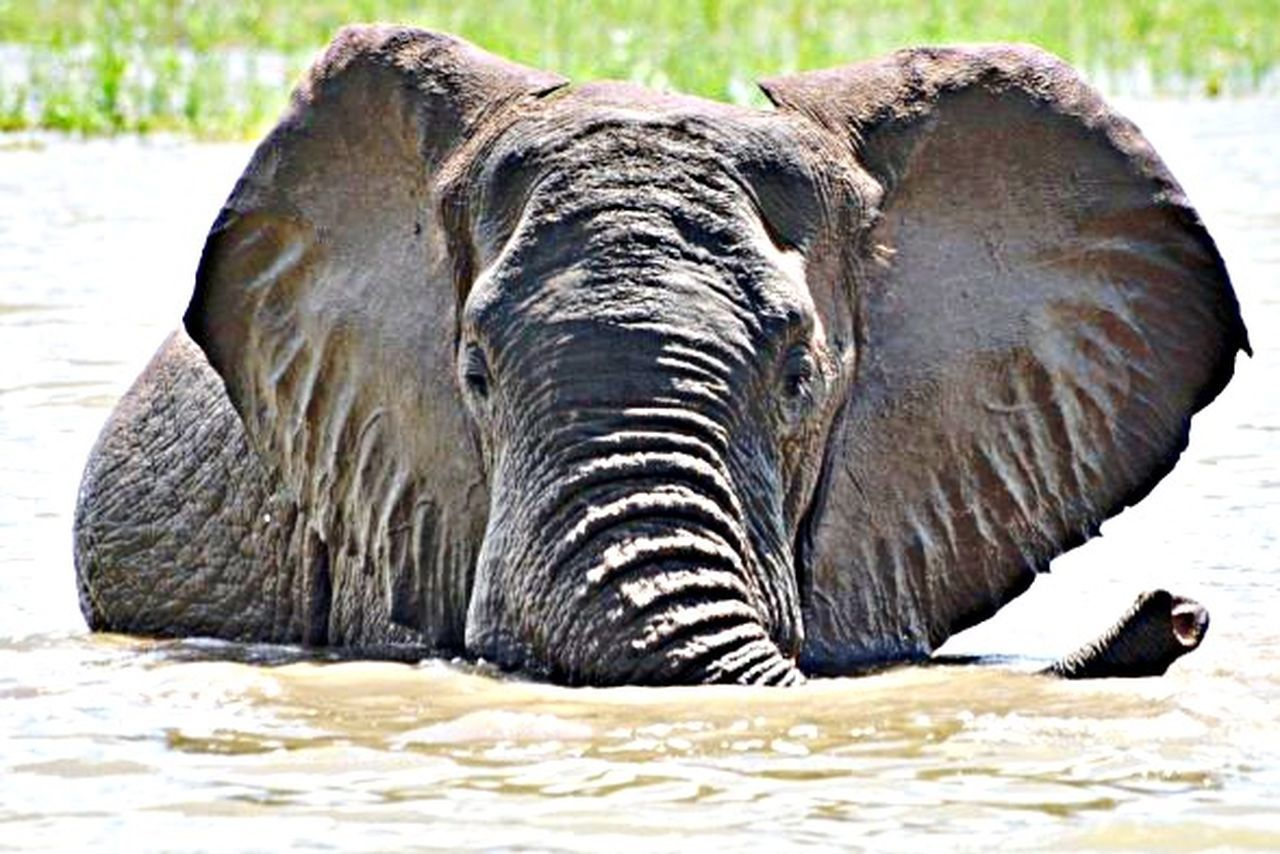 animals in the wild, one animal, animal wildlife, animal themes, safari animals, nature, no people, day, outdoors, elephant, mammal, close-up, water, animal trunk, beauty in nature, african elephant
