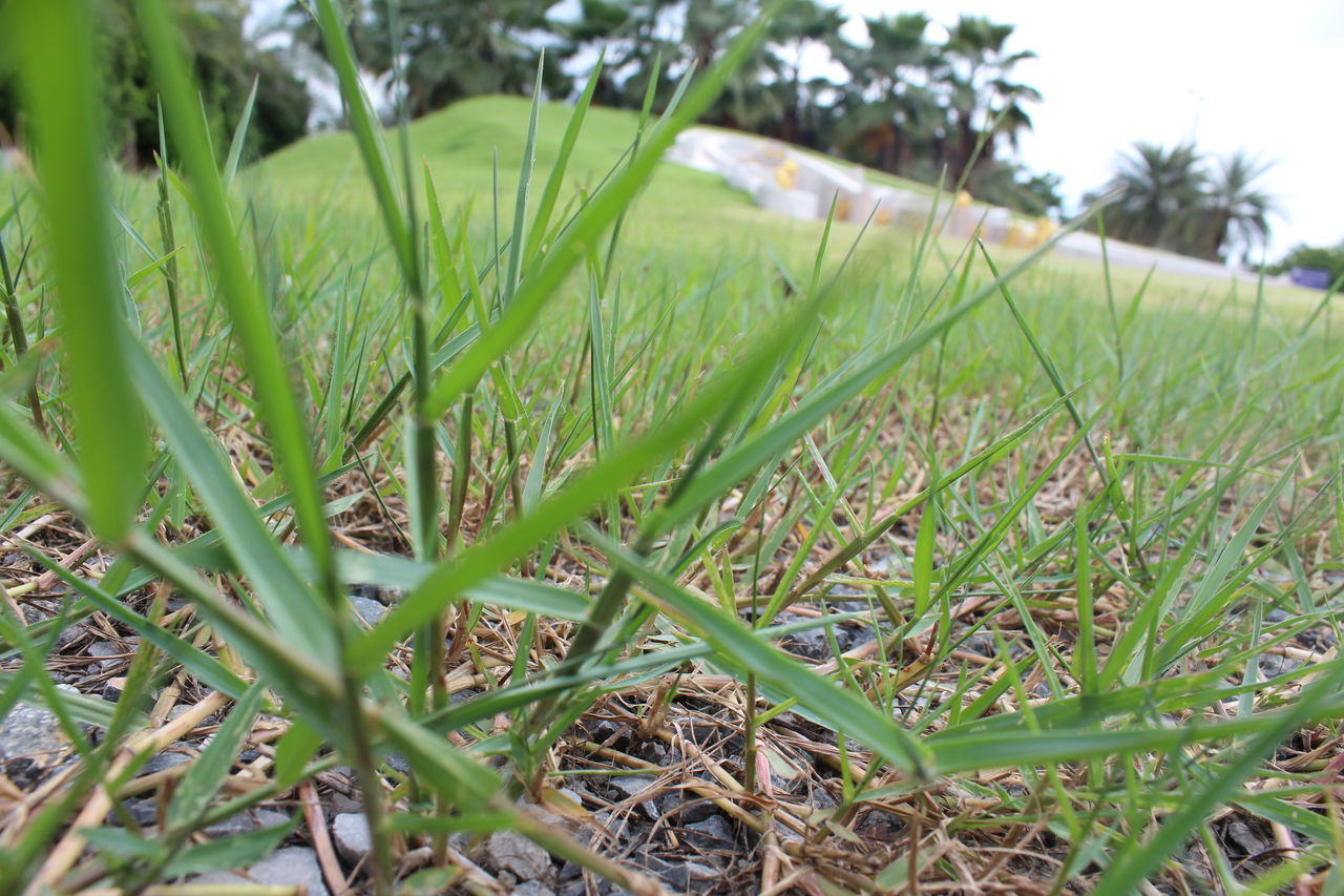 grass, green color, field, nature, growth, day, no people, outdoors, close-up, tranquility, beauty in nature, plant, freshness