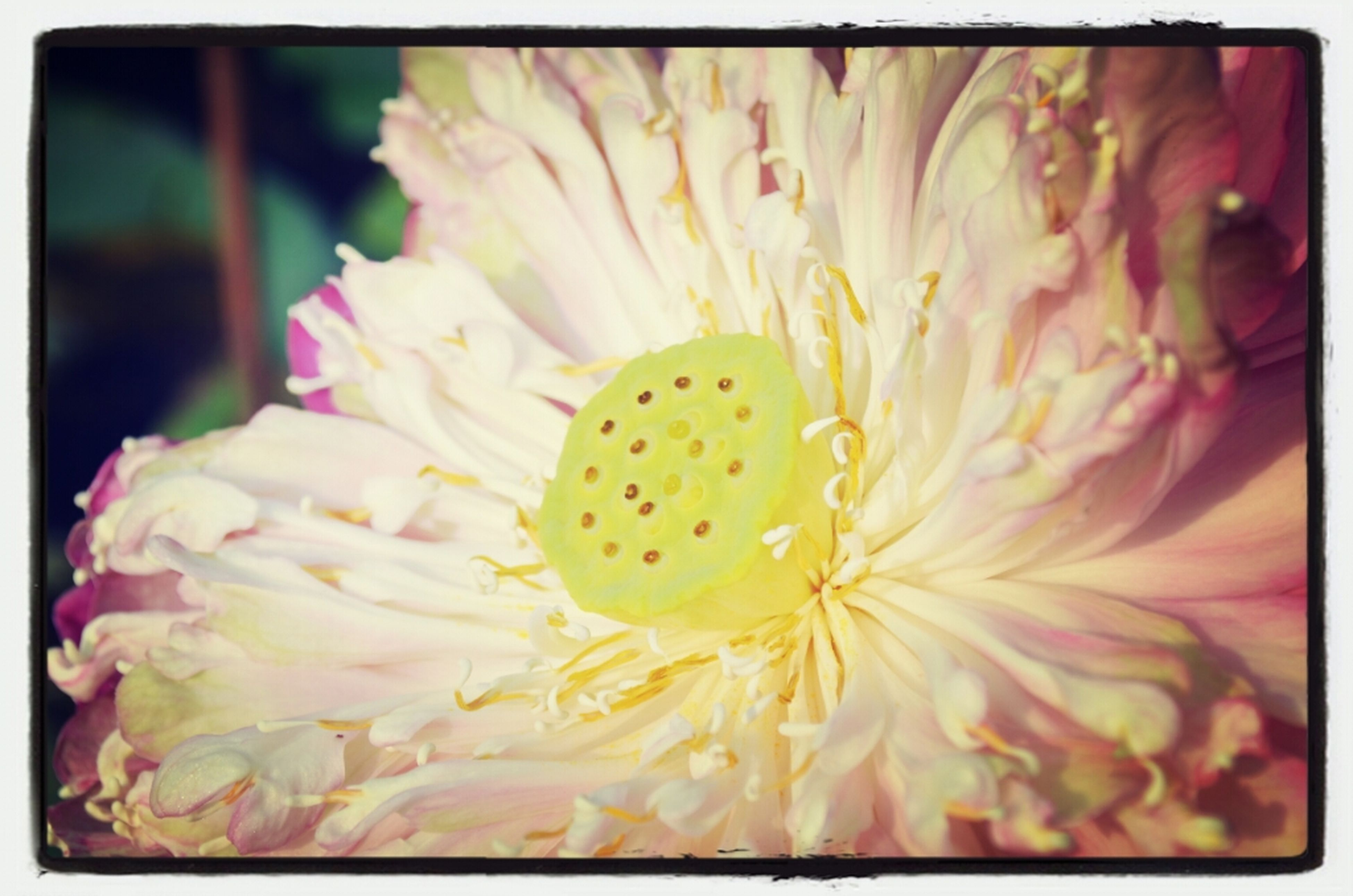 flower, transfer print, petal, flower head, freshness, fragility, auto post production filter, beauty in nature, close-up, growth, single flower, nature, blooming, pollen, stamen, yellow, in bloom, full frame, focus on foreground, selective focus