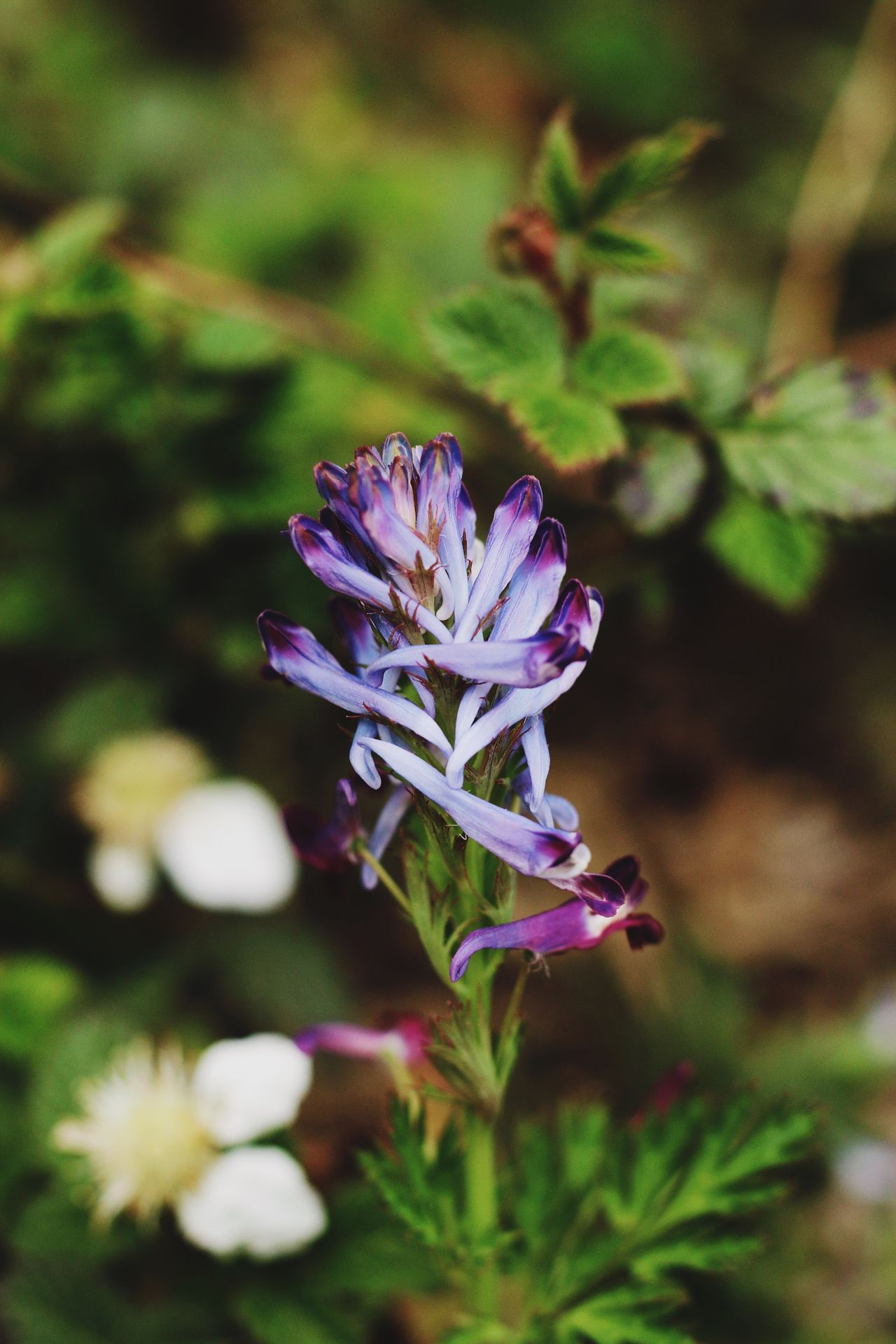 Corydalis Incisa Flower Nature Growth Purple Beauty In Nature Freshness Fragility Plant No People Close-up Outdoors Day Flower Head Beautiful Nature EyeEmNewHere EyeEm Gallery From My Point Of View Wildlife & Nature Spring Springtime Blossom Beauty In Nature Low Angle View Plant