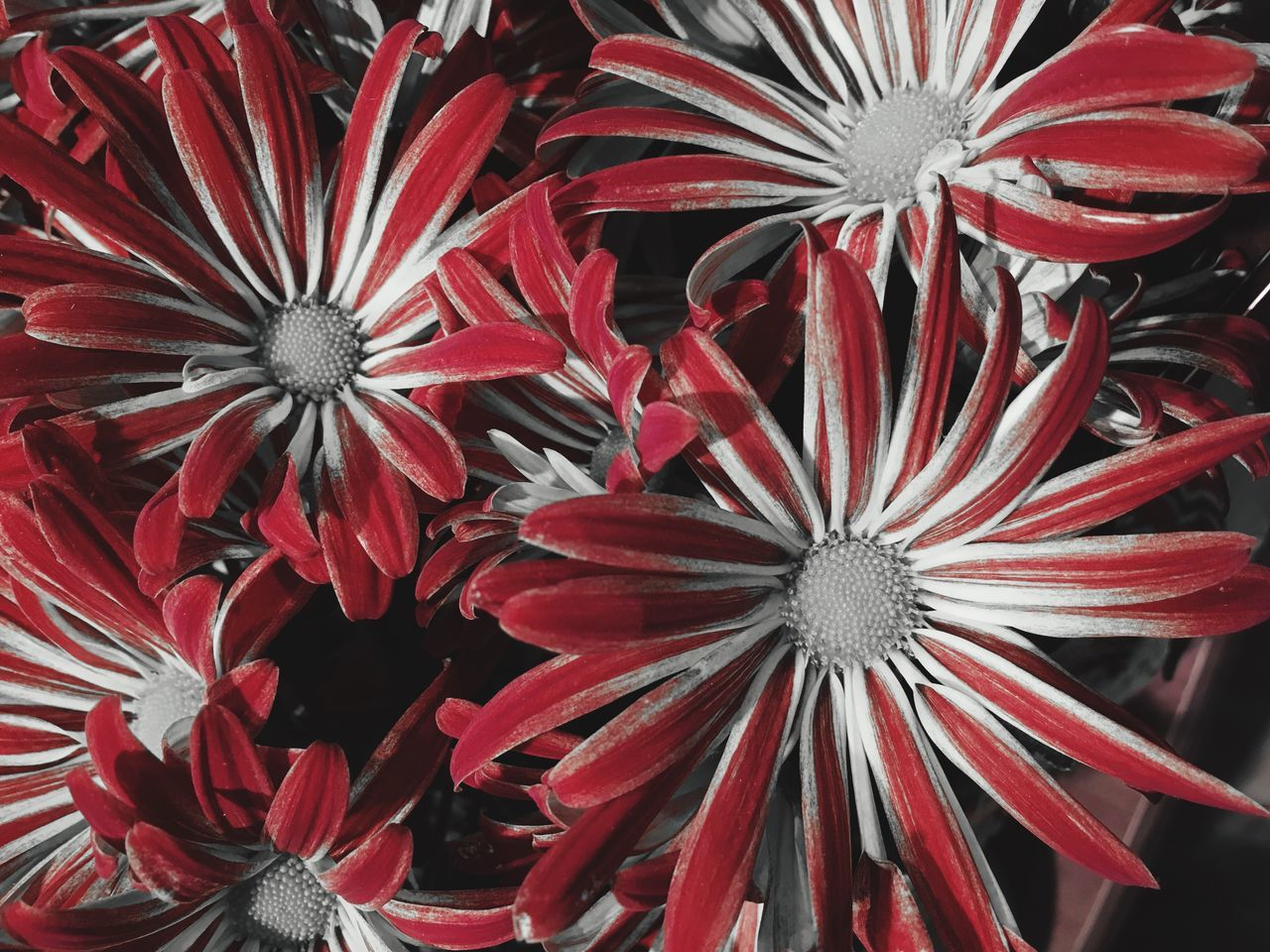 Flower Petal Red Beauty In Nature Plant Flowers Color Isolation Red Flower Nature Iphoneonly B&w