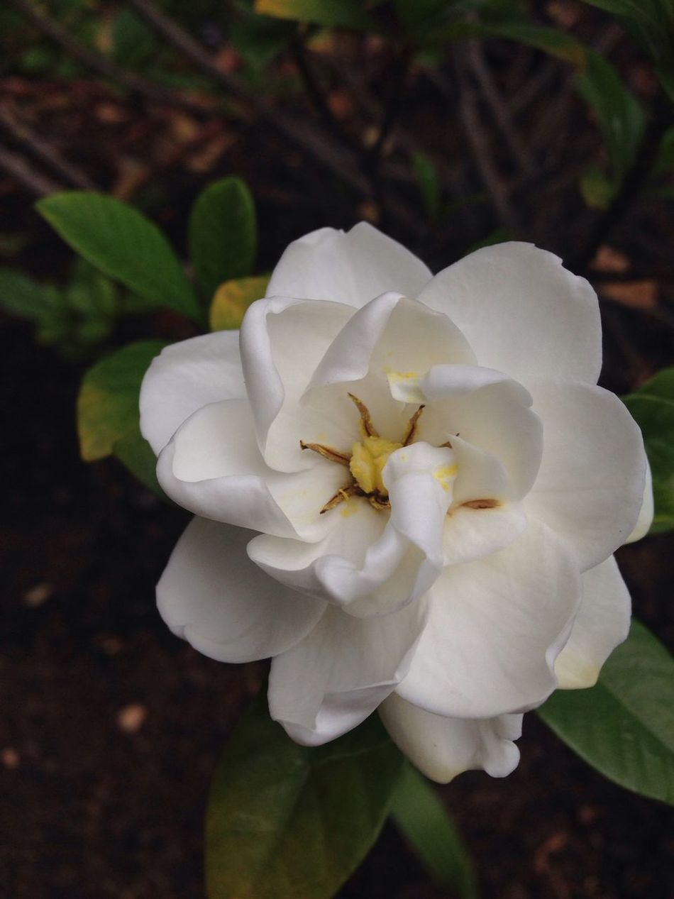 this Gardinia has the sweetest aroma !!! may you all inhale sweetness at all times ! ?⭐️ The Purist (no Edit, No Filter) IPhoneography Flowersforfriends