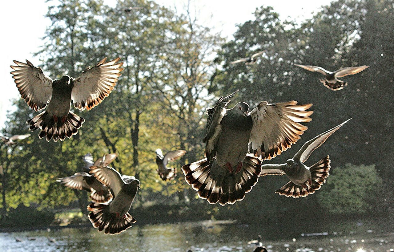 Attack of the killer Pigeons ! Birds Flight Sunlight Capture The Moment