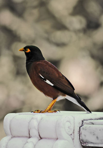 Common Mynah Animal Themes Animal Wildlife Animals In The Wild Beauty In Nature Bird Close-up Cold Temperature Common Mynah Day EyeEm Best Shots EyeEm Nature Lover Focus On Foreground Myna Nature Nature Nature Photography Nature_collection No People One Animal Outdoors Perching Snow Wildlife Wildlife & Nature Winter