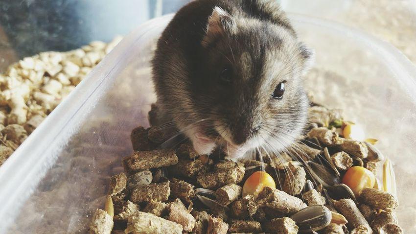 Hamster Myhamster Hamster Love Hamsteranão