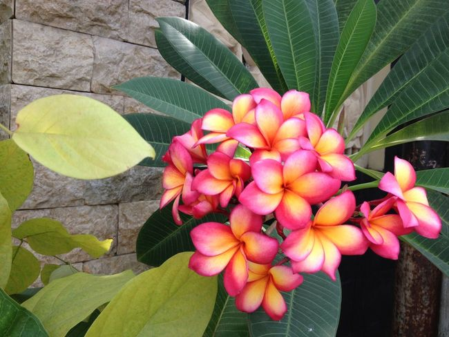 Bunga Kamboja Adenium Frangipani Plumeria Flower Garden Plants Nature Beautiful