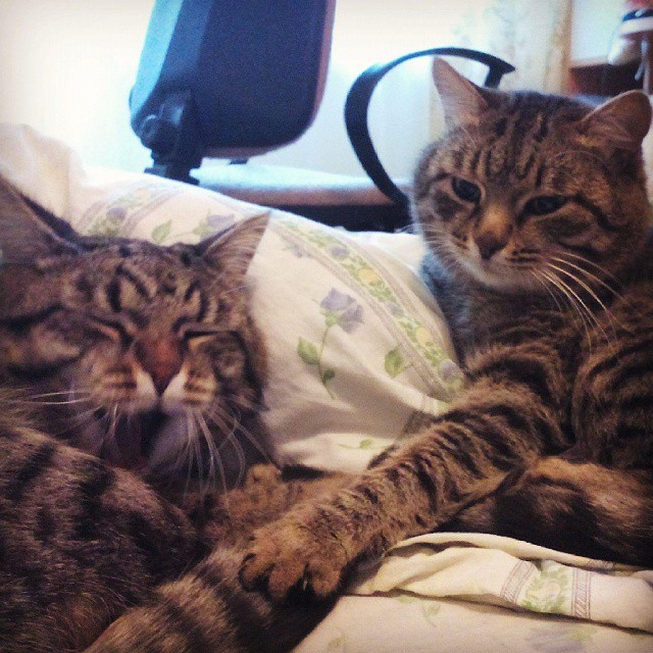 Russia Cats Animals Melkiu Barsik