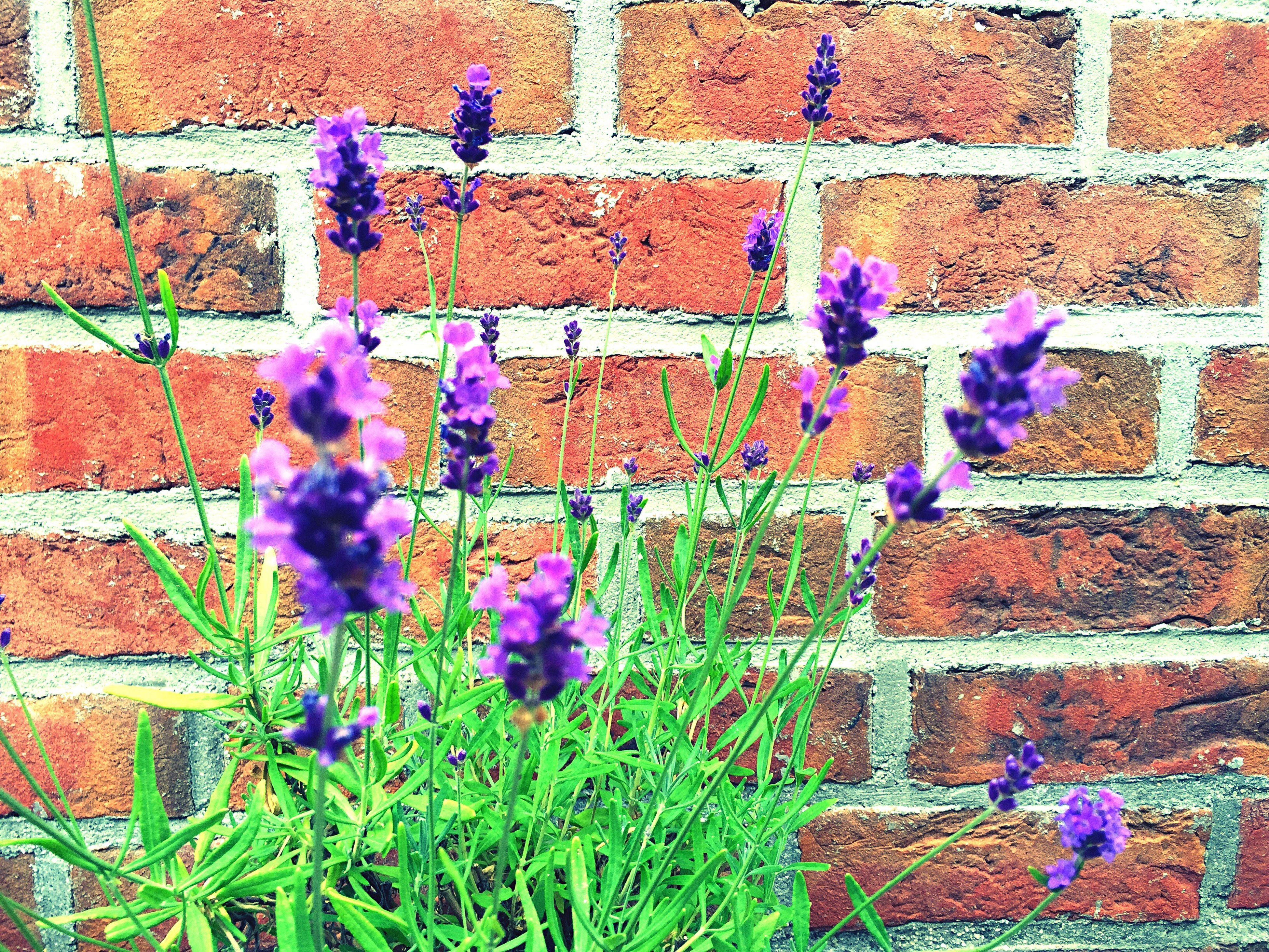 flower, freshness, fragility, growth, purple, plant, brick wall, built structure, wall - building feature, pink color, architecture, building exterior, blooming, beauty in nature, nature, petal, stone wall, in bloom, outdoors, day