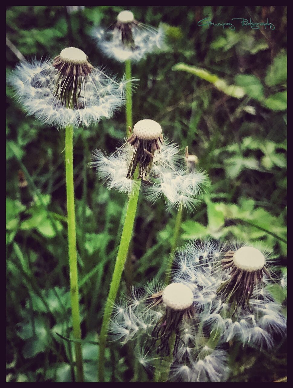 fragility, growth, nature, dandelion, flower, mushroom, close-up, uncultivated, freshness, beauty in nature, plant, outdoors, no people, focus on foreground, fungus, day, flower head, toadstool, fly agaric