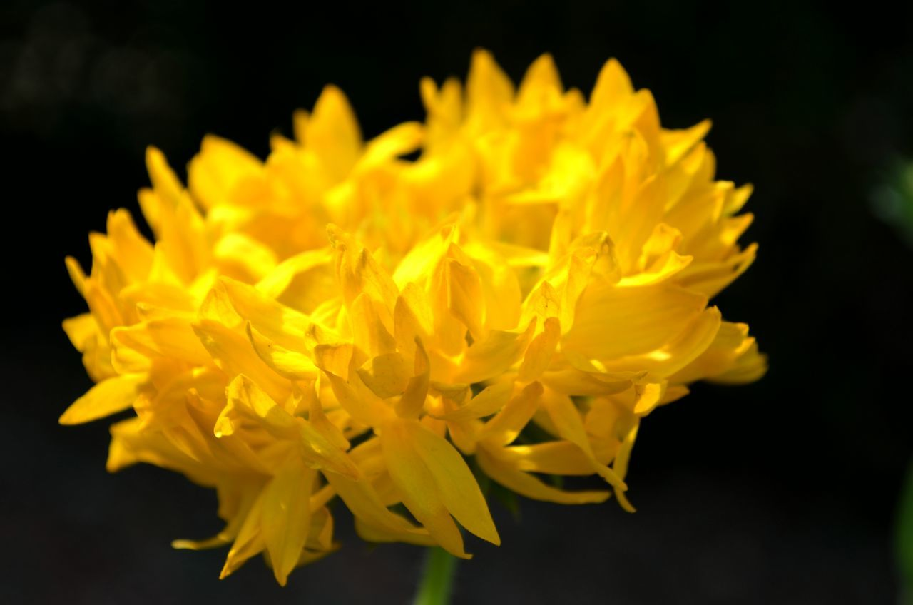 flower, petal, yellow, fragility, freshness, beauty in nature, flower head, close-up, focus on foreground, nature, plant, no people, growth, outdoors, blooming, day, black background