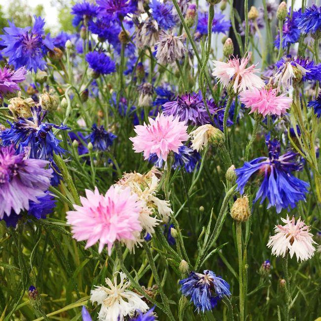 Flowers,Plants & Garden The Purist (no Edit, No Filter) Bachelor Buttons Flower Fields