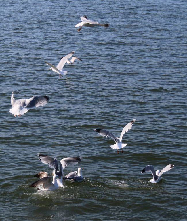 Animal Themes Bird Day Many Seabirds Flying. Many. Medium Group Of Animals Outdoors Rippled Sea Bird Sea. Seagull Spread Wings Water Water. Wildlife