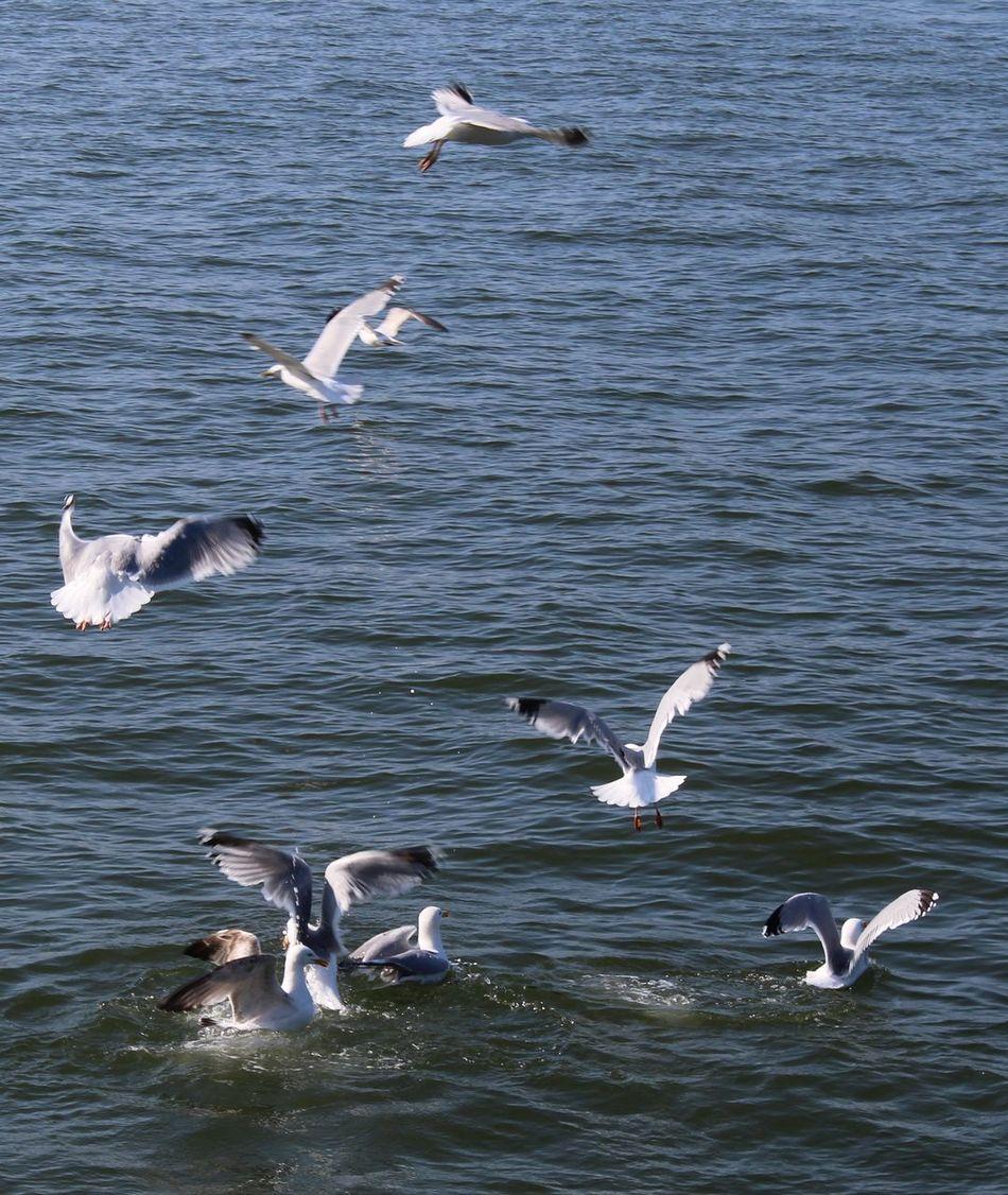 Animal Themes Bird Day Many Seabirds Flying. Many. Medium Group Of Animals Outdoors Rippled Sea Bird Sea. Seagull Spread Wings Water Water. Wildlife