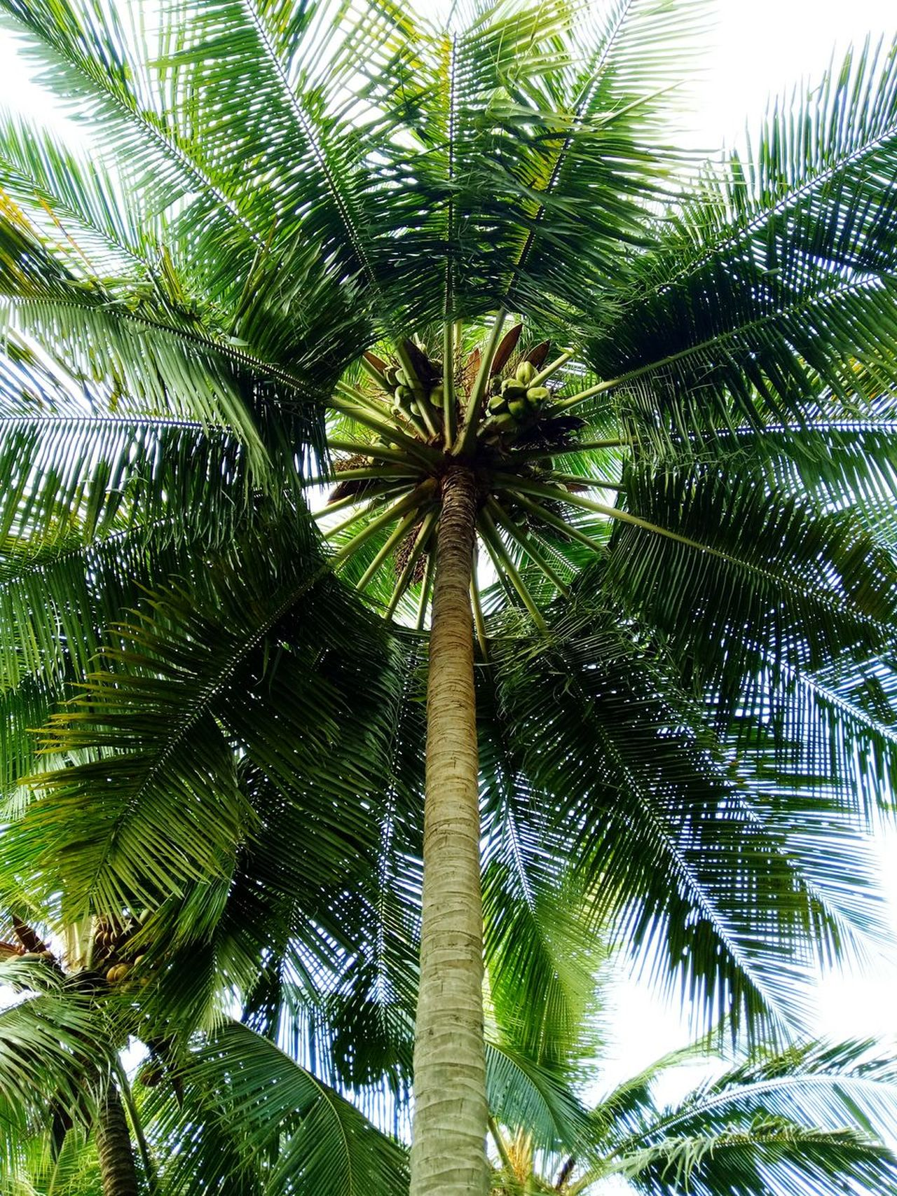 Low Angle View Growth Tree Palm Tree Nature Green Color Day No People Sky Outdoors Beauty In Nature Treetop Tree Topper Treetastic Treelovers Trees And Sky Leaves🌿 Leaves 🍁 Coconut Trees Leaves And Sky Leaves Green Growing In Strange Places