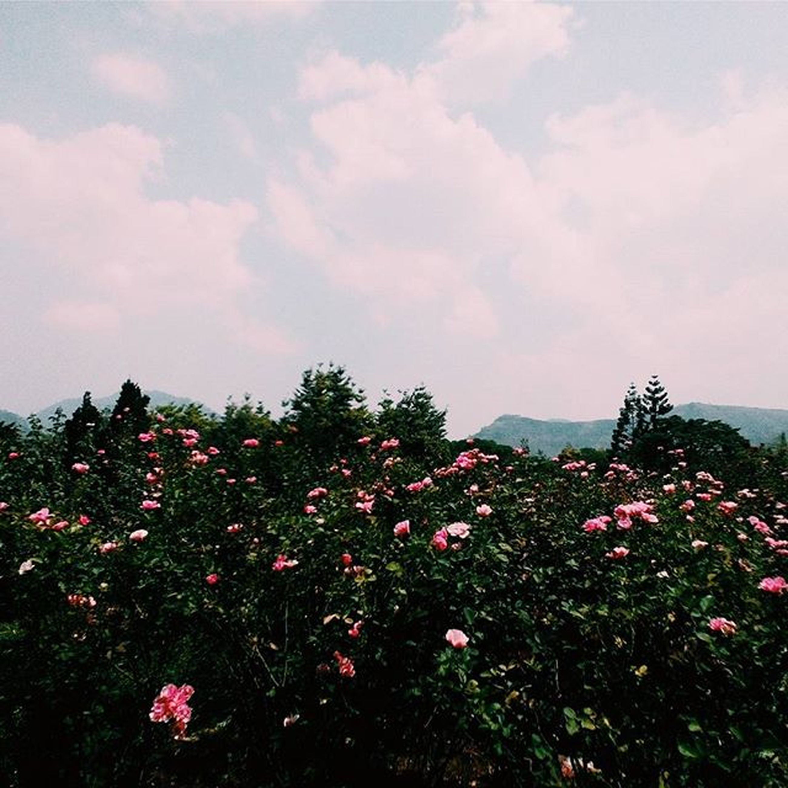 flower, sky, beauty in nature, growth, nature, freshness, cloud - sky, tree, plant, tranquil scene, tranquility, scenics, landscape, blooming, fragility, mountain, cloud, cloudy, in bloom, outdoors