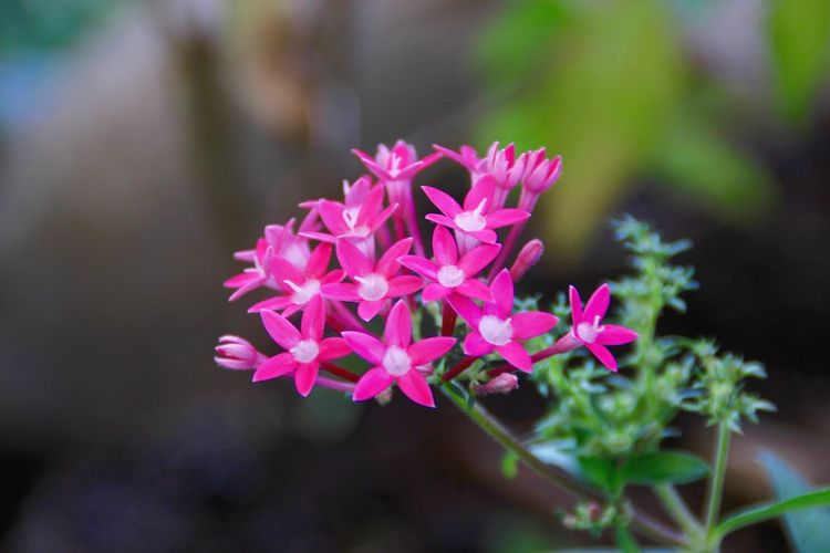 Anceolata Beauty In Nature Blooming Close-up Day Egyptian Starcluster[ Flower Flower Head Focus On Foreground Fragility Freshness Growth Nature No People Outdoors Pentas Pentas Lanceolata Petal Pink Color Starflower