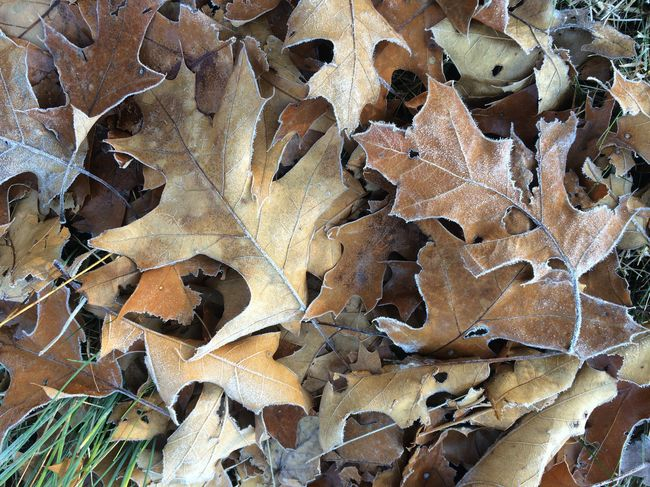 Backgrounds Close-up Day Design Extreme Close-up Fragility Frost Frosty Morning Full Frame Leaves Nature Oak Outdoors Pattern Patterned Red Oak Leaves Repetition Star Shape Textured