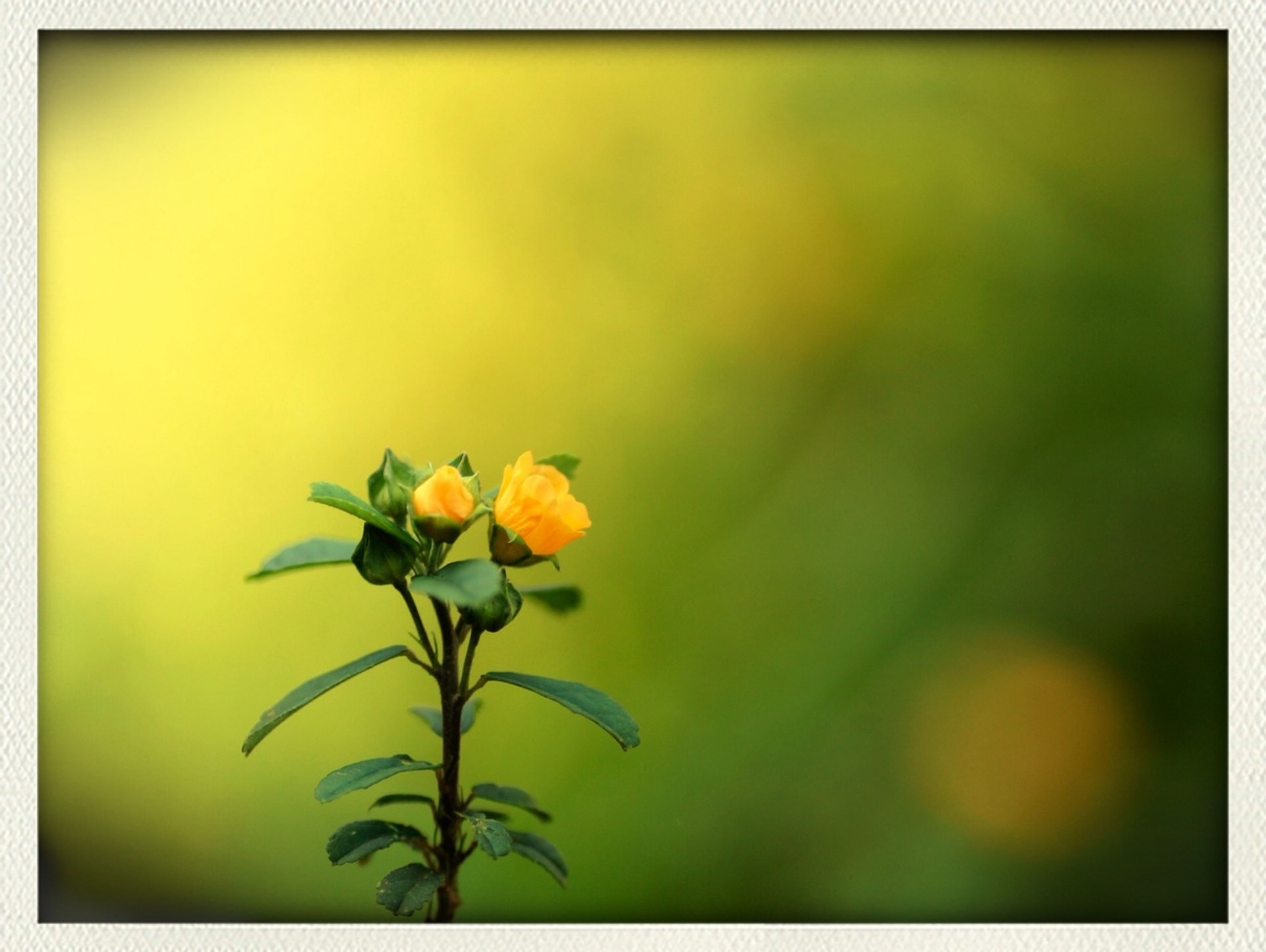 flower, transfer print, freshness, petal, fragility, auto post production filter, growth, flower head, yellow, beauty in nature, nature, plant, blooming, focus on foreground, close-up, stem, in bloom, bud, blossom, leaf