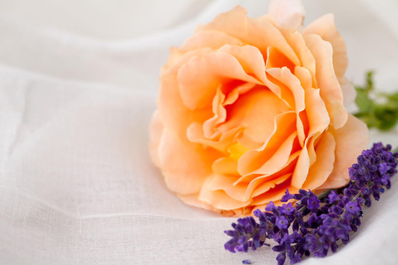 Fresh lavender and rose bloom Aromatherapy Copy Space Wellness Beauty In Nature Close-up Day Fabric Background Flower Flower Head Fragility Fragrance Freshness Lavender Nature No People Odor Petal Rose - Flower Smell Spa White Background