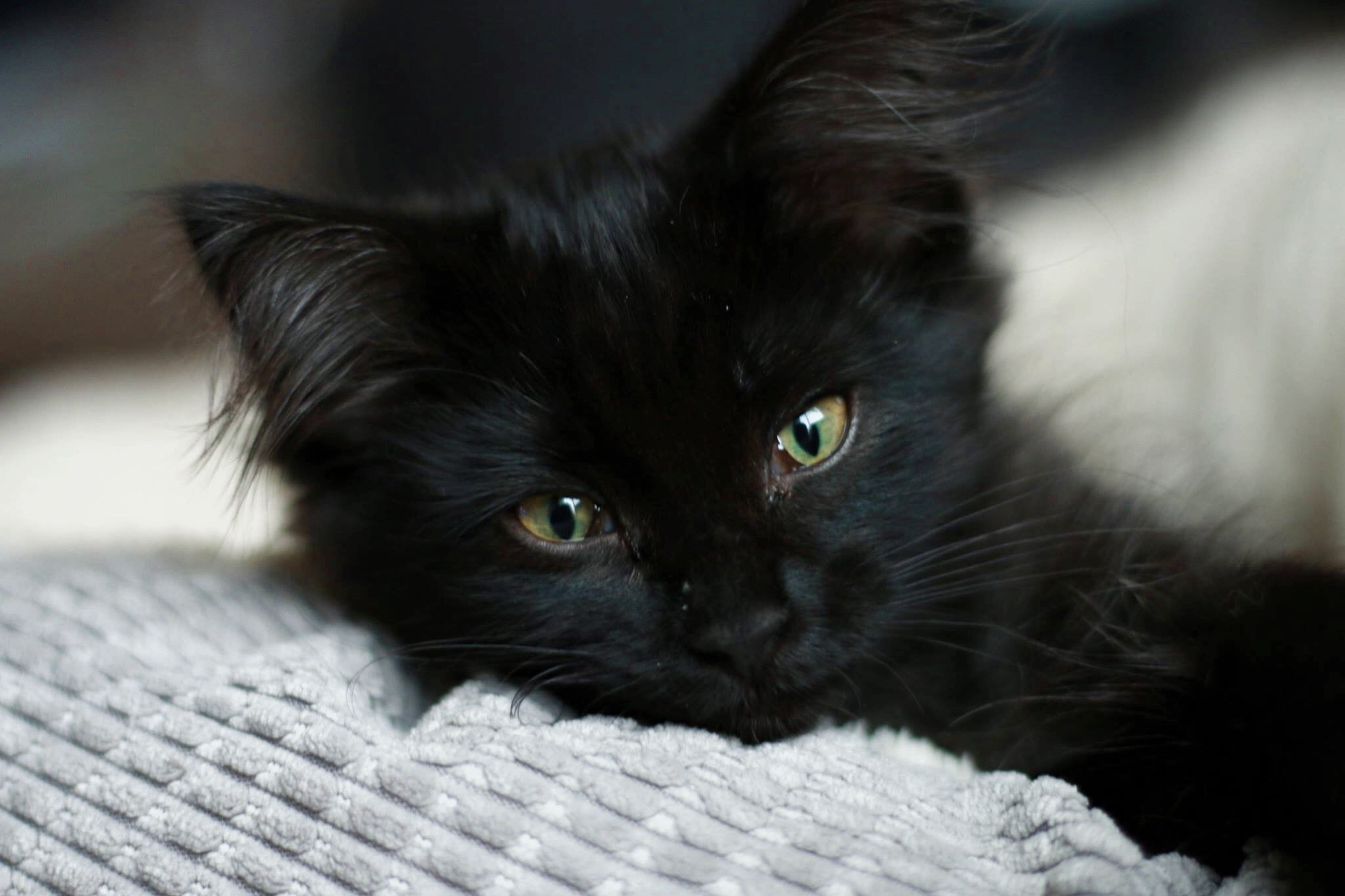 pets, one animal, domestic animals, animal themes, domestic cat, mammal, indoors, portrait, looking at camera, cat, whisker, close-up, feline, focus on foreground, relaxation, black color, animal head, selective focus, home interior, lying down
