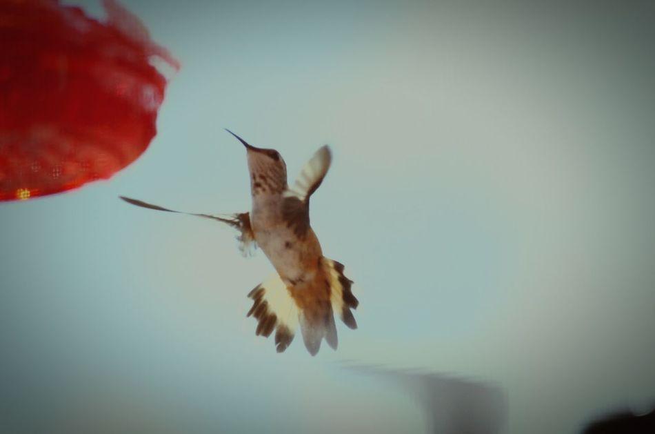 Beautiful stock photos of hummingbird, Animal Themes, Animals In The Wild, Beak, Beauty In Nature